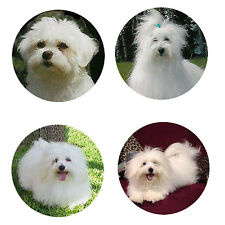 Coton de Tulear Magnets 4 Cool Cotons for your Fridge or Collection-A Great Gift