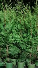 10 X TREES LEYLANDII CONIFER HEDGING GREEN CONIFERS 3 FOOT PLANTS 2 LT POT'S