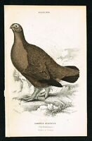 Red Grouse - Lagopous Scotica, Hand-Colored, Naturalist's Library 1840