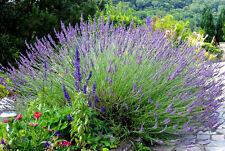 50 Graines de Lavande Méthode BIO seeds fleurs vivace a semer officinale jardin