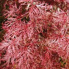 Rare 'Red Filigree Lace' Japanese Maple Tree Seeds. Acer palmatum. 25 Seeds.