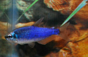 10 (ten) x Inpaichthys kerri «Super Blue» (Purple Emperor Tetra)