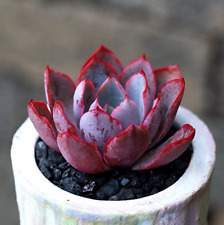 Echeveria hera Succulent live Plants Rare Easy Grow Potted Flower 1 cutting gift
