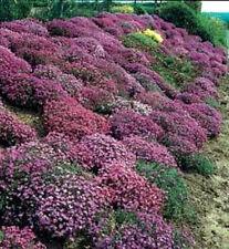 400 RAINBOW ROCKCRESS MIX Aubrietia Flower Seeds CombSH