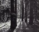 1959 Vintage ANSEL ADAMS Yosemite Valley Cedar Trees Landscape Photo Art 11X14