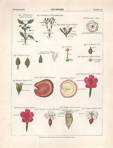 1883 Vittoriano Botanico Stampa ~ Chickweedoptical Sezione Floreale Foglie Stame