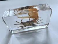 Chinese in Clear Acrylic Lucite Insect Collection Rose Chafer Beetle 7 2CM 4