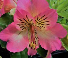 Alstroemeria 'Sunshine', 9cm Pot, Deciduous Perennial Plant