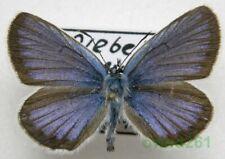 Plebejus argus (Linnaeus, 1758) male