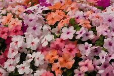 Flower seed - BUSY LIZZIE MIX  Impatiens walleriana