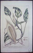 "Phillip Miller: ""Dracontium,"" 1755 Botanical Engraving"
