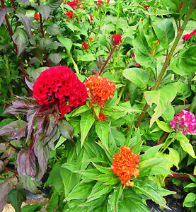 celosia, CRESTED MIX, cockscomb, COLORFUL flower, 385 seeds! GroCo*