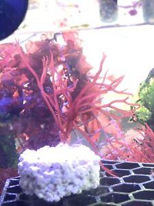 Red Marine Macro Algae Gracilaria Seahorses