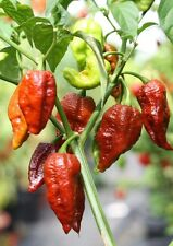 20 Chocolate Brown Bhutlah Seeds Fresh World Record Bhut Jolokia x Douglah !HOT!