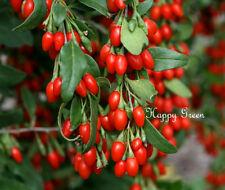 Baya de Goji-Wolfberry - 400 semillas-Lycium chinense-Semillas de árbol