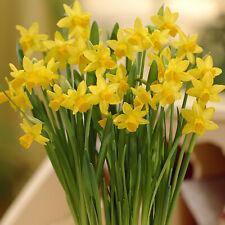 100 Tete a Tete Dwarf Daffodil Narcissus Quality Garden Bulbs Spring Flowering