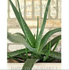 "Fresh Aloe Vera Medicinal Live Plant~One~14"" Tall Or Taller Bare Root~Unpotted"