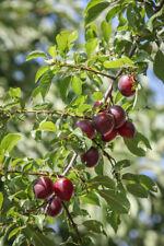 Altamente radice commestibili sangue PRUGNA 80-100cm Prunus cerasifera