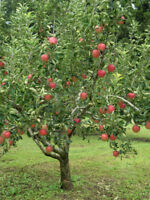 Flavor Rich Peach Tree - Hardy - Healthy - Established - 1 Gallon Pot - 1 Plant