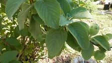 New listing Usa 45 + Rare Live Plant Fuzzy Oregano Aromatic Flowers Herb Rooted Plectranthus