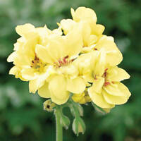 BUY 3 GET 2 FREE Yellow Geranium Flower Seeds 200 PCS New Arrival for Garden