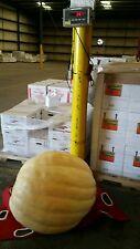 257 lb giant pumpkin seeds Atlantic Giant