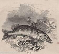 Antigüedad 1845 impresión Pike Pesca con Mosca Pesca Con Caña Fish Varilla Tackle Río cesta 1