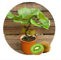 120pcs Kiwi Fruit Seeds Mini Kiwi Bonsai Plants Delicious Kiwi Small Fruit Tree
