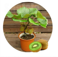 120Pcs Kiwi Fruit Seed Fruit Vegetable Seeds Home Garden Potted Plant