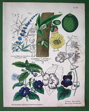 FLOWERS Chaste Tree Fruit Calabash Pansy Gloxinia - H/C Color Botanical Print
