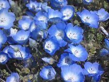 BABY BLUE EYES FLOWER SEEDS  *****