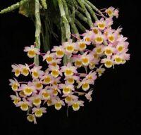Dendrobium crepidatum - fragrant fl - aufgebunden/mounted BS/FS