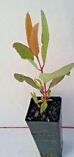 Eucalyptus gillenii (Gum Tree) in 50mm forestry tube native plant tree