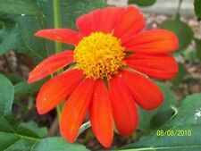 Mexican Sunflower Orange-(Tithonia Speciosa Goldfinger) - 100 seeds