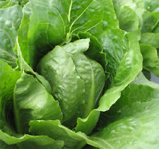 Kopfsalat Samen Salatsamen