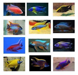 10 (ten) Assorted Aulonocara Species (Lake Malawi Cichlid)