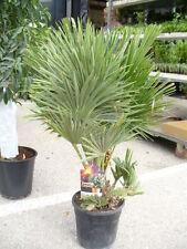 Chamaerops compacta, Vulkano Buschpalme, sehr dekorative langsam wachsende Palme