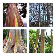 Regenbogenbaum Eucalyptus deglupta  10 Samen Einzigartiges Farbspektakel BONSAI