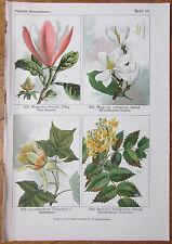 Vilmorin: Flowers Beautiful Print Magnolia Berberis - 1896