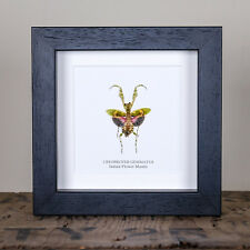 Indian Flower Mantis in Box Frame (Creobroter Gemmatus)  insect taxidermy