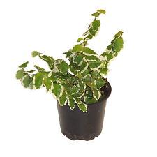 Plante Ficus pumila Variegata en pot Ø9cm (mur cadre tableau végétal intérieur)