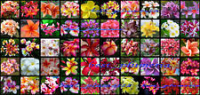 Plumeria Seeds/Flowers/Mixed 300 Seeds Rare.