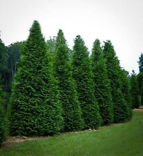 "3 Arborvitae Green Giant 4 inch pot 6-12 "" Tall (One plant Per pot, 3 pots)"