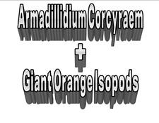 Custom Listing: 25 Giant Orange Isopods + 10 Armadillidium Corcyraem