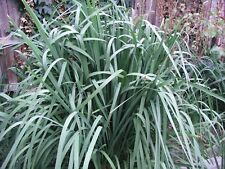 LOMANDRA LONGIFOLIA - PREMIUM QUALITY, MATURE PLANTS – FROM $15.00/Ea (EB113)