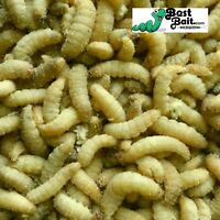 500 Count Live Waxworms, Wax worms Fishing, Reptile Feeders,  Free Shipping