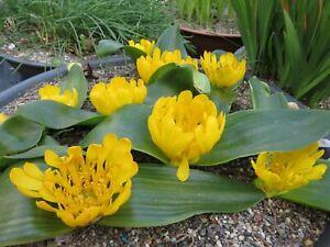 Daubenya aurea yellow form, 3 flowering size bulbs