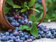NORTHERN HIGHBUSH BLUEBERRY BUSH Fruit Seeds  (50 Seeds) R-016