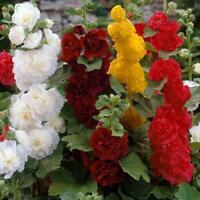 Seeds Hollyhock Mallow Terry Mix Giant Flower Perennial Garden Organic Ukraine