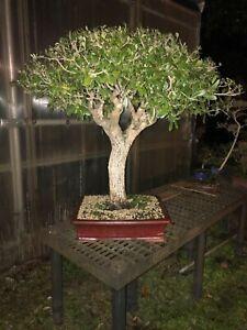 Oak Bonsai Trees For Sale In Stock Ebay